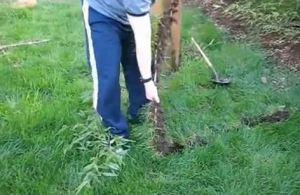 comment se débarrasser de racines de bambou